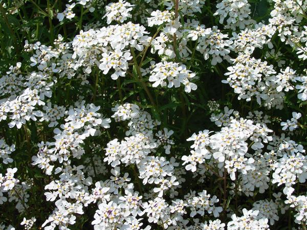 Изысканный аромат сада: выкармливание ибериса