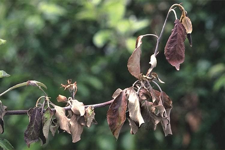 Болезни яблоня  и их лечение: советы садоводов