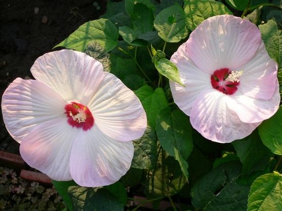 Гибискус болотный: подобно вырастить изо семян?