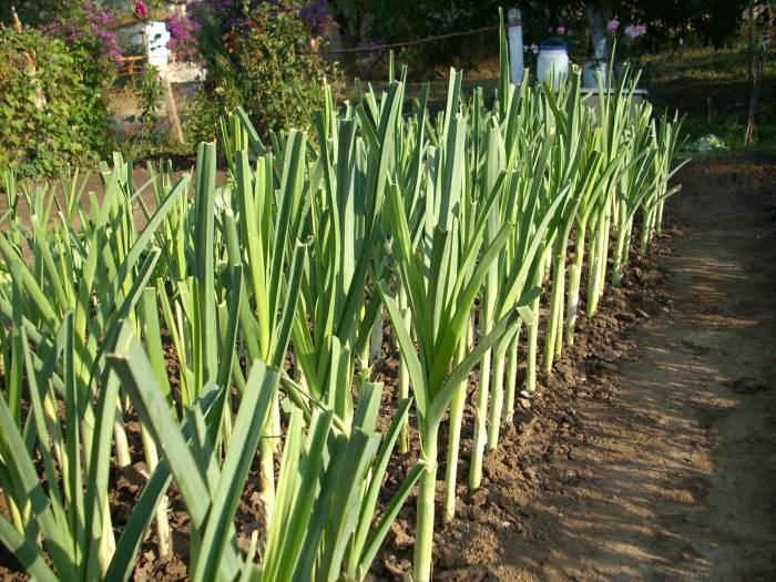 Вырастить татарка порей изо семян проще  простого!
