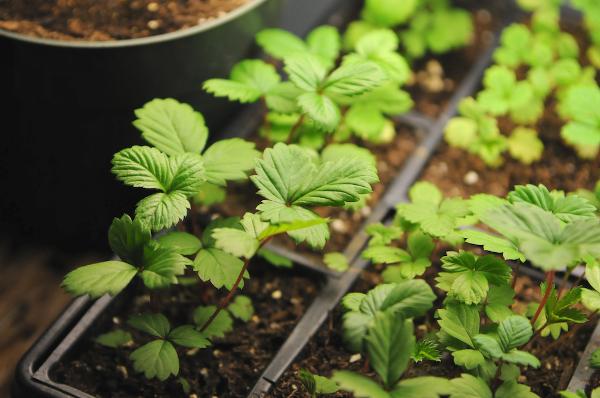 Сладкий урожай: культивация земляники изо семян