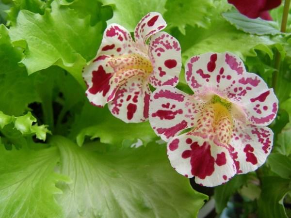 Мимулюс: точно вырастить изо семян?