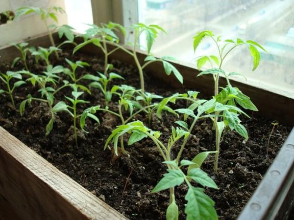 Как повысить урожайность: удобрения чтобы  рассады